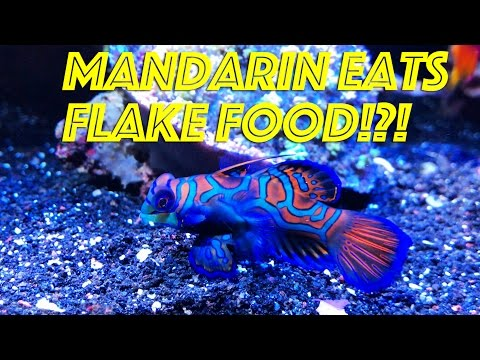 Captive Bred Mandarin Eating Flake Food!