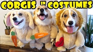 Best Funny CORGI Costumes - Fashion Show || Life After College: Ep. 623
