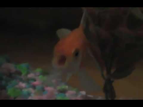 Rapująca złota rybka