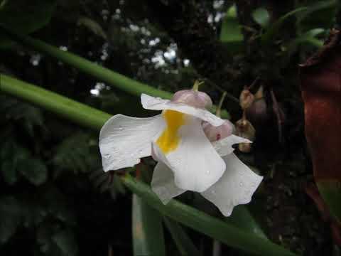 Utricularia alpina Guadeloupe