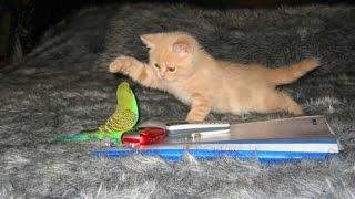 Кошки и Попугаи! Смешная  Видео Подборка! Funny Cats And Parrots /