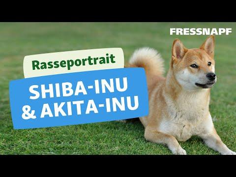 Rasseportrait: Akita Inu & Shiba Inu