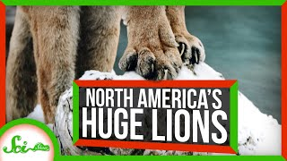 The Mysterious *Gigantic* Lions That Used to Roam North America