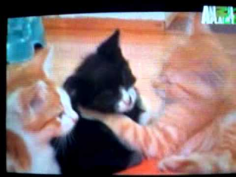 super tiernos de animal planet episodio 14  la rasa de los gatitos parte 1