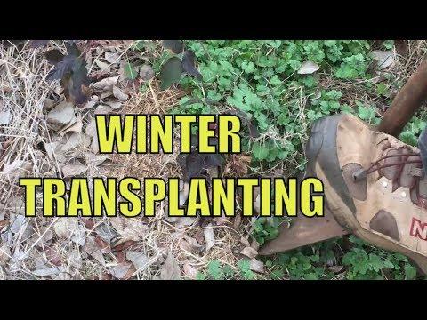 TRANSPLANTING BLACKBERRIES IN THE WINTER