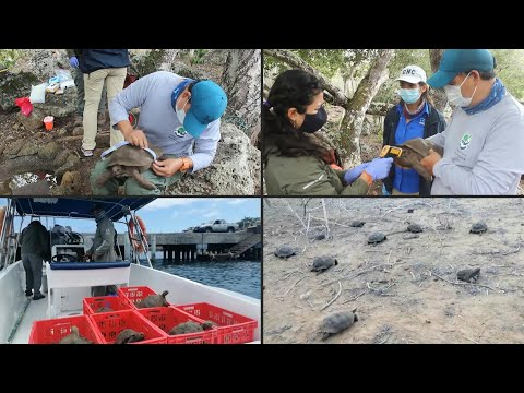Galapagos wild tortoises born in captivity released   AFP