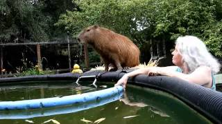 You Can Lead a Capybara to Water, But...