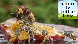 hornet and wasp. Attack, fight, flying.  slomo best of one day 31.8.2018.