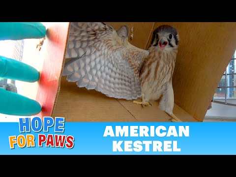 Young bird of prey crashes into a window and then goes down to the ground!
