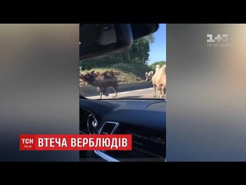 У Бельгії четверо верблюдів втекли з пересувного цирку