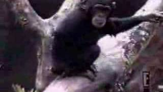 Monkey Smells Butt & Falls Down