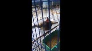 Chim lạ - Phượng hoàng lửa -1
