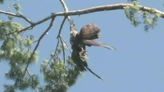 Hero vet shoots eagle out of tree