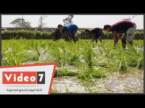 """وكيل """"زراعة الغربية"""": تخفيض المساحة المنزرعة أرز من 120 إلى 40 ألف فدان"""