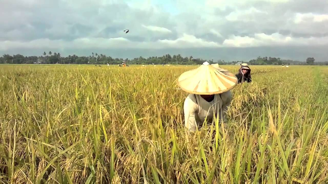 How rice is made - YouTube  How rice is mad...