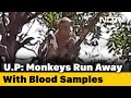 Monkey Steals COVID Patients Blood Samples In UP, Eats Surgical Gloves