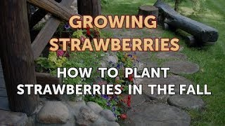 How to Plant Strawberries in the Fall