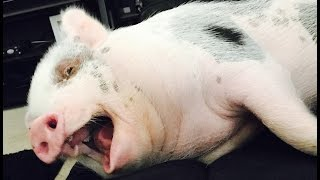 The Truth About Owning A Mini Pig!