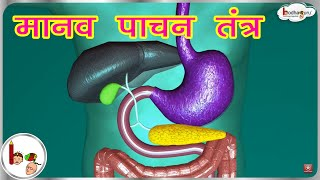 मानव पाचन तंत्र - Human Digestive system Animated 3D model -in  Hindi