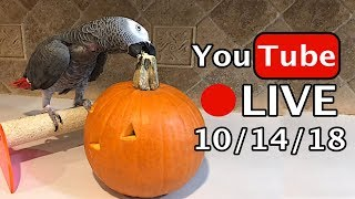 🔴🐦Einstein Parrot LIVE! 10/14/18 Pumpkin Carving