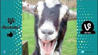 TRY NOT TO LAUGH or GRIN: Funniest Goat Screaming Videos - Funny Animals Vines Compilation 2017