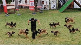 Belgian Malinois Puppies Attack Training - How to Train Belgian Malinois puppies? (AGGRESSIVE!!!)