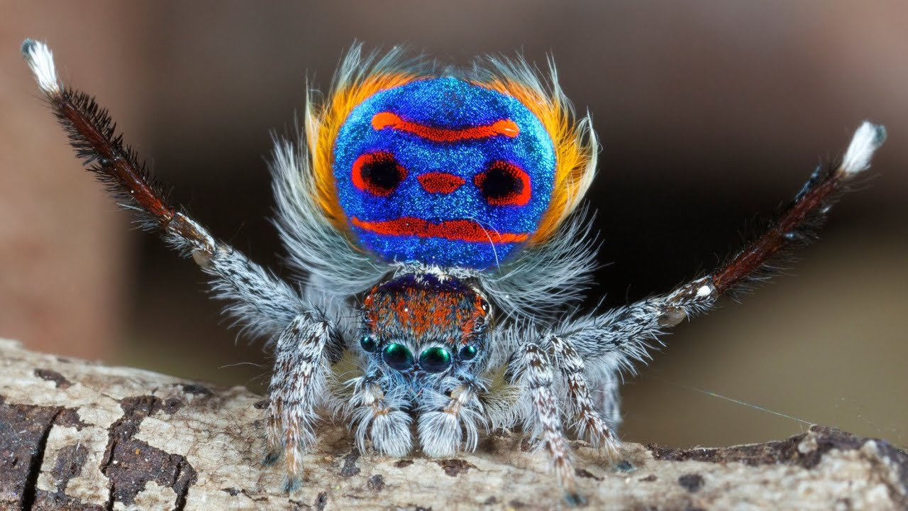 Colorful jumping spider - photo#32