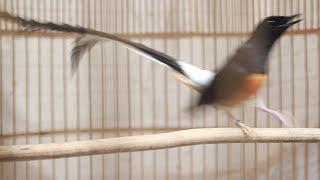 ลีลา นกบินหลาดง White-rumped shama Display