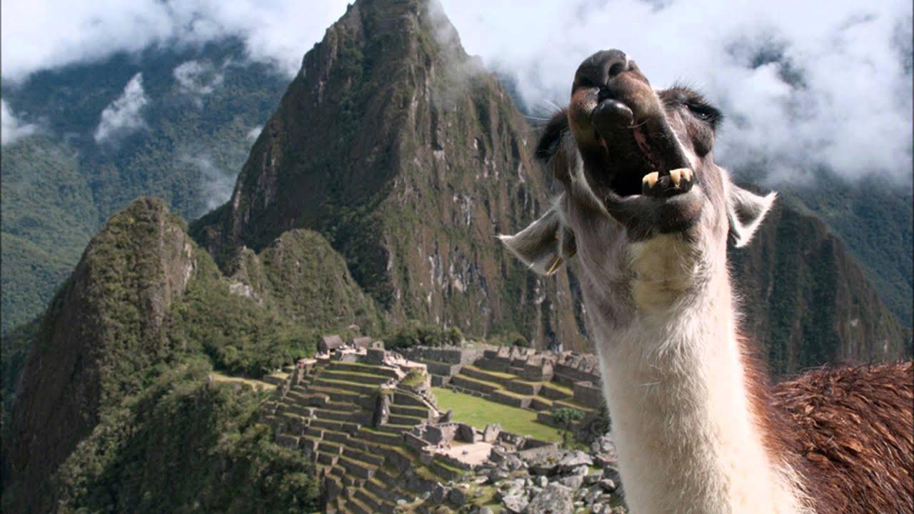 Screaming Llamas