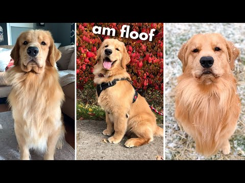 Life With a Golden Retriever | Compilation 4