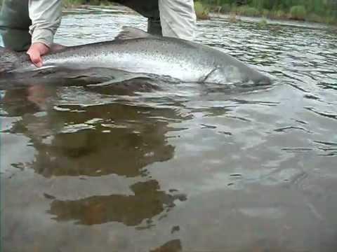 Angler's Alibi King Salmon
