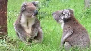 コアラ同士のけんか