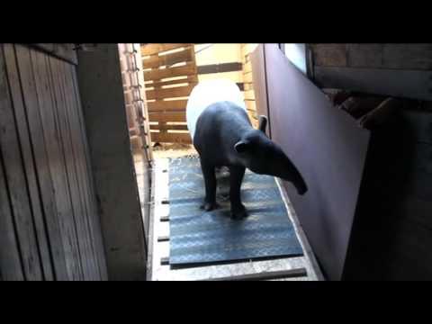 Příjezd tapíra