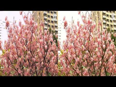 3D櫻花樹