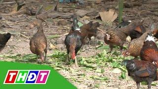 Tăng thêm thu nhập nhờ nuôi gà rừng | THDT