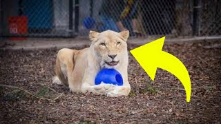 Lioness' Life Completely Changed After Meeting Him at the Rescue Center