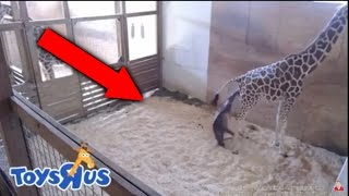 April The Giraffe Giving Birth Video! | Animal Adventure Park