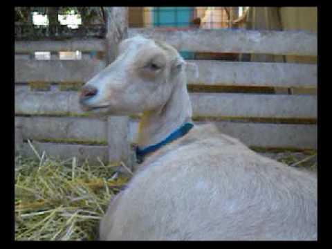 Porođaj koze 7