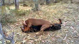 Pitbull VS Rottweiler - Rottweiler VS Pitbull - Blondi Foks