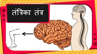 Science - Human Nervous System, voluntary and reflex action - Hindi