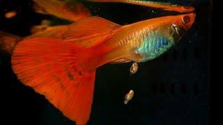 When A Guppy Fish Having Babies
