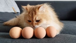 CATS PLAYING WITH EGGS