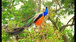 Vẻ đẹp kiêu sa của loài chim khổng tước phật mẫu