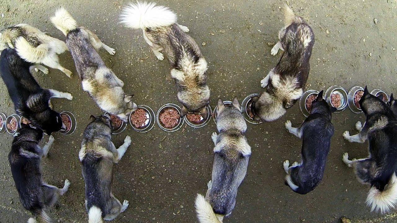 L'entraînement des Huskies