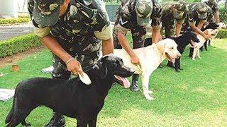 Labrador Retriever -  Intelligent Companion and Supreme Working Dog
