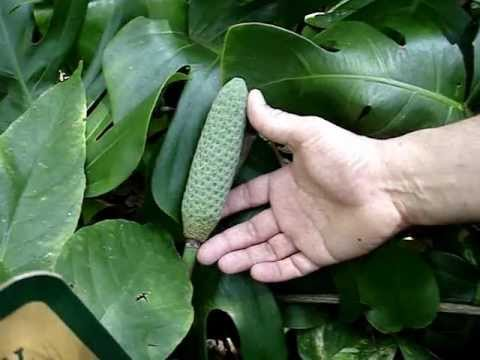 How To Tell Monstera Deliciosa From Philodendron Bipinnatifidum Youtube