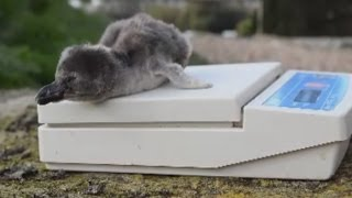 Penguin chicks hatch at Chester Zoo