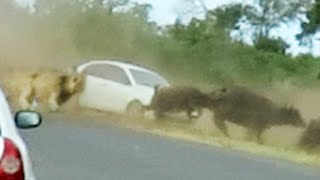 Lions Chase Buffaloes Into Tourist's Car