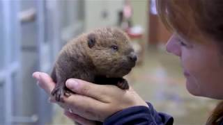 Baby Beaver Cuteness