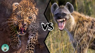 LEOPARD VS SPOTTED HYENA - Who Would Win?
